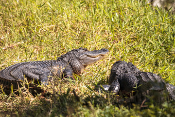Young American Alligator mississippiensis basking