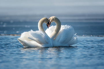 Foto op Aluminium Zwaan Romantic two swans, symbol of love