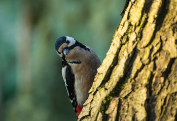 Greater spotted woodpecker (Dendrocopos major) on the tree trunk