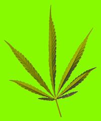 Cannabis Texture Marijuana Leaf Pile Background
