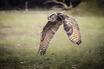 flying bubo owl