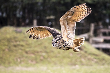 flying bubo owl in nature