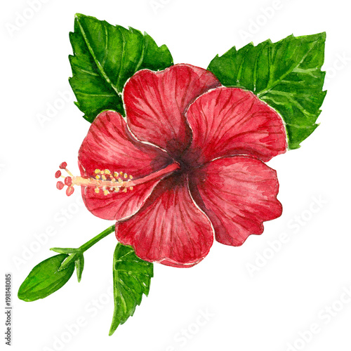 Hibiscus Flower And Leaves Painted With Watercolors On White