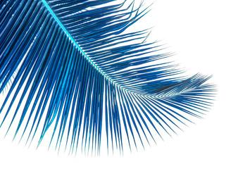 palme bleue de cocotier, fond blanc