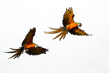 Grace Flight of beautiful parrots cores on a white background.