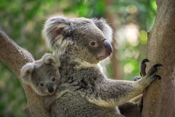 Photo sur Toile Koala Mother and baby koala on a tree in natural atmosphere.