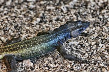 Common flat lizard, Platysaurus intermedius, on rocks in Matopos National Park, Zimbabwe