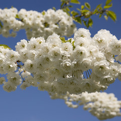 White flowering cherry tree heavy with blossom against a clear blue sky