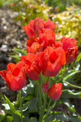 Spring garden, a clump of vibrant red tulips