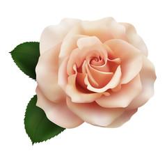 Realistic pink tea color rose, Queen of beauty.