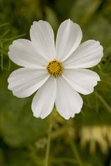 A single white cosmos flower