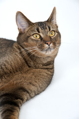 Cute part Abyssinian young male cat with piercing amber eyes on white seamless background