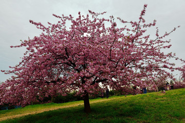 豊前の河津桜