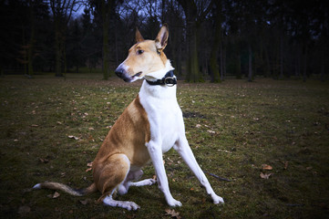 Smooth Collie dog in park at dusk