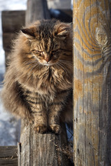 hide behind log old siberian cat