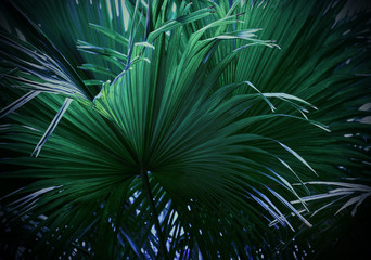 Wall Mural - Palm leaves texture background
