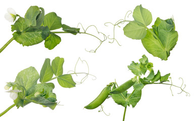 four pea stems with flower and pods