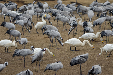 Common Crane (Grus grus) and Whooper swans (Cygnus cygnus) at Lake Hornborga, Swden