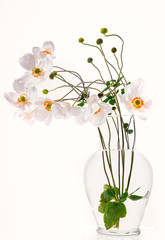 White Cut Anemone Flowers in Clear Vase on White Background