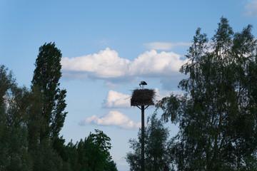 Klapperstorch im Nest füttert seine Jungvögel