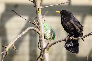 Blackbird sitting on a branch next to a birdfeeder
