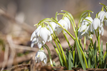 Close-up of snowdrop flowers in the spring