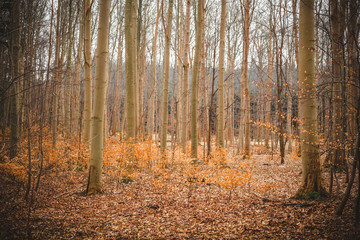 Golden beech trees in a forest