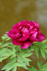 紫色の牡丹の花