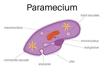 The structure and diagram of paramecium