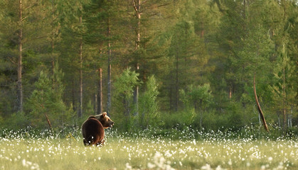 Brown bear in forest landscape. Brown bear in taiga landscape.