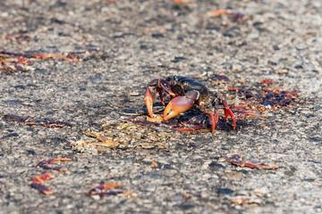 Red Migrating crab Cuba Gecarcinus ruricola on the road
