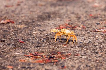 Yellow Migrating crab Cuba Gecarcinus ruricola on the road