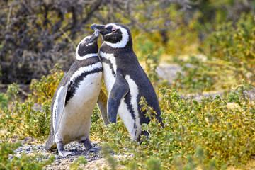 Pair of Affectionate Magellanic Penguin at PuntaTombo Reserve, Argentina. One of the largest Penguin Colony in the world, Patagonia