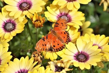 DBG Orange Butterfly