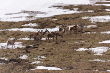 A herd of roe deer on a mountain clearing. Western Tatras. Poland.
