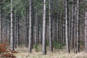Undergrowth and pine tree trunks in Fontainebeau