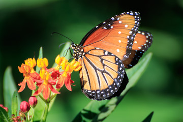 Queen Butterfly on Feeding Butterfly Weed