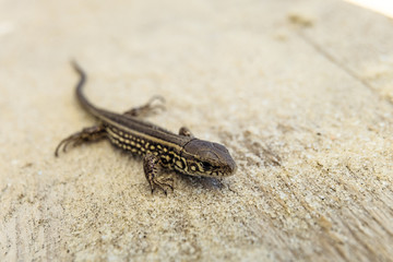 Young brown sand lizard on a sandy ground in the wild. Limited depth of field.