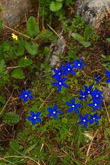 A cluster of gentian