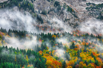 Beautiful mountain coniferous forests covering with a lot of fog.