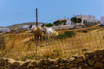 Beautiful wild horses grazing in cycladic island of Kythnos in Greece