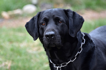 Maxwell Aquaman Male Black Labridor Retriever