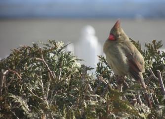 Female northern cardinal (Cardinalis cardinalis) on top of a shrub.
