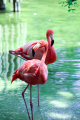 Flamingos in a wild in South Florida