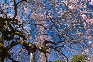 枝垂れ梅の花が咲く