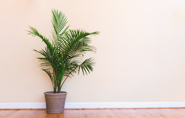 Large indoor palm plant in a pale yellow room Wall mural