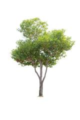 Clouseup  Bullet Wood (Mimusops elengi Linn) Tree isolated on white background