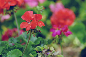 geranium flower blooming at garden