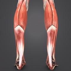 _Muscles of Leg Posterior view