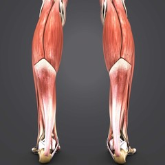 Muscles of Leg with Skeleton Posterior view